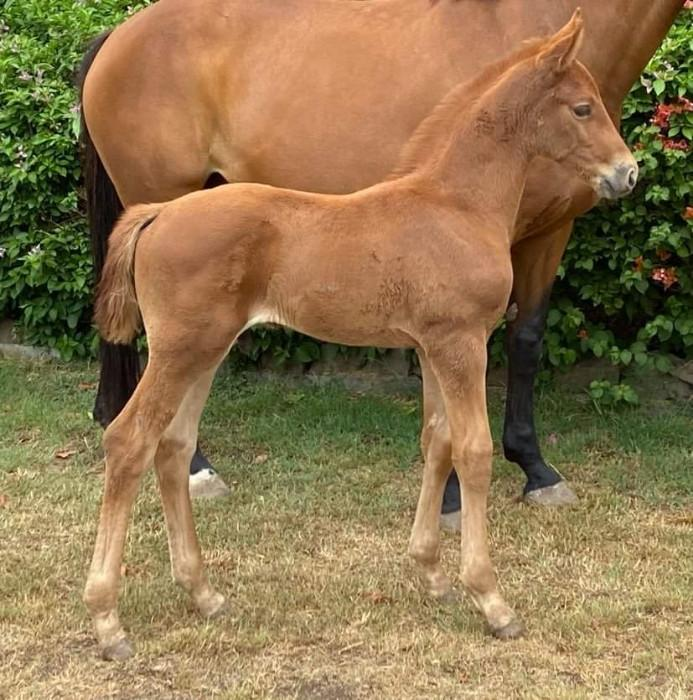 Hanovarian colt by World Champion sire 'Secret'!