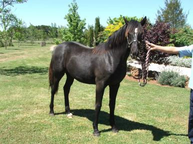 Her Colt as a yearling
