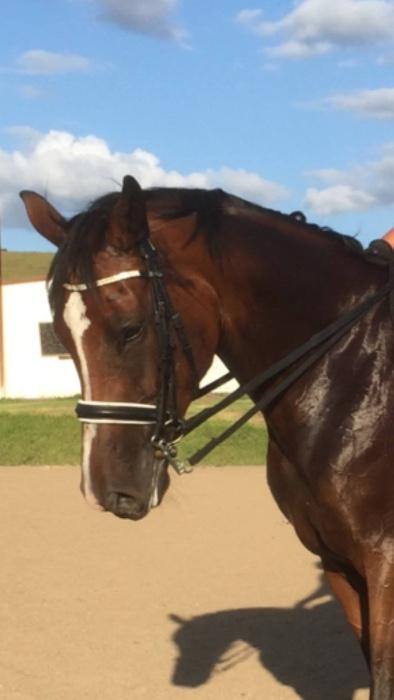 Warmblood Mare- Broodmare or Companion
