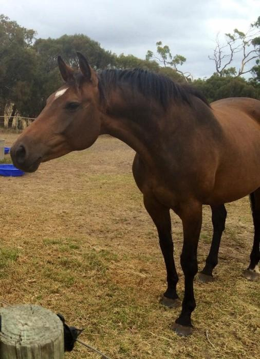 Bay Warmblood mare Bluegums Topaz//Wunder/Flaneur