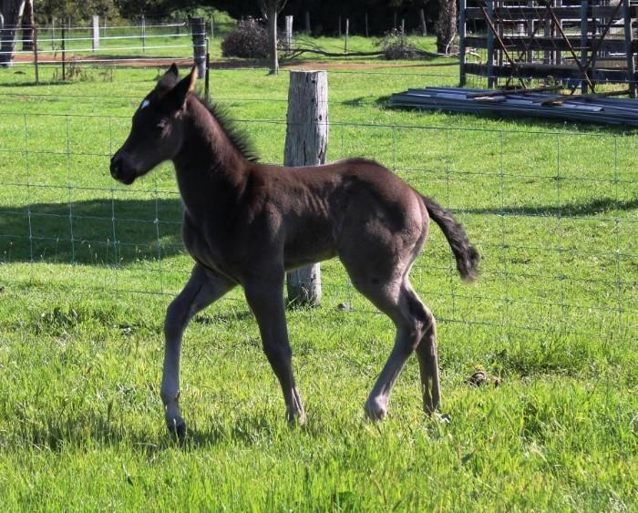 Smoky Black Filly Foal- PAYMENT PLAN AVAILABLE.