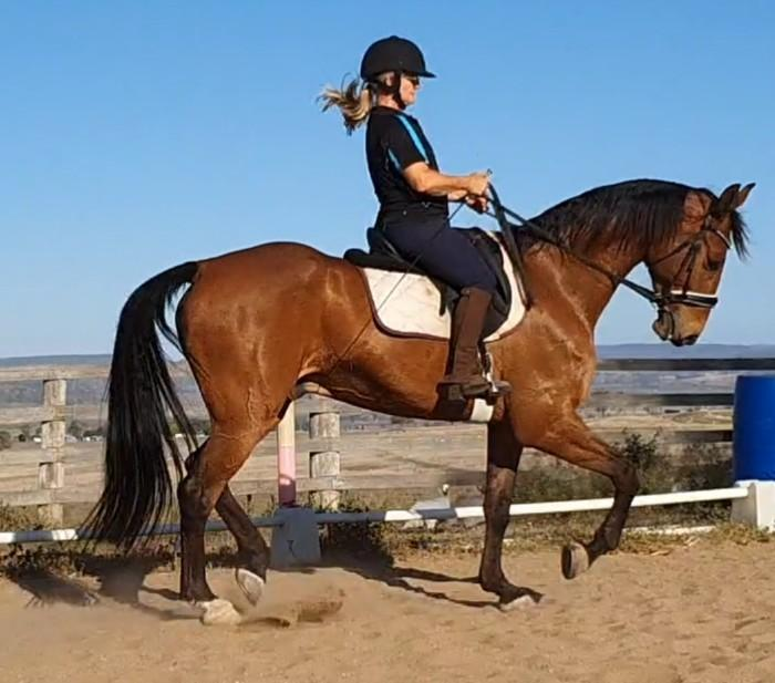 Medium level dressage warmblood gelding