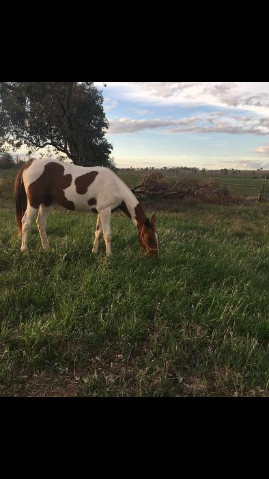 Yearling Ash filly - Two rivers little arapaho