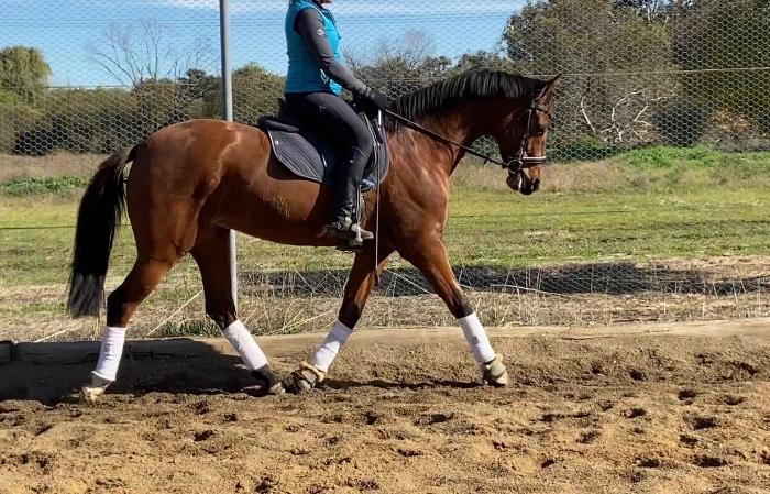 5yo Warmblood Mare