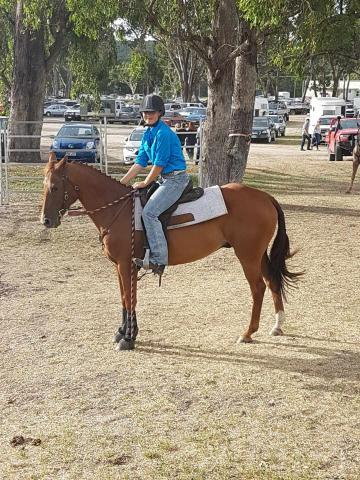 Quiet QH gelding for sale
