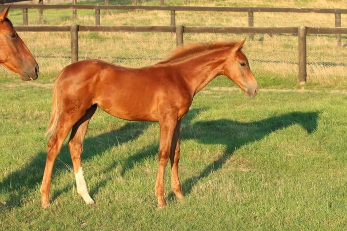 Striking Don Martillo Filly