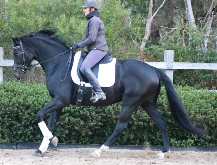 OUTSTANDING FÜRST LOVE 6YR OLD DRESSAGE GELDING