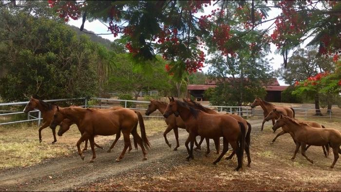 Quality Registered Quarter Horses