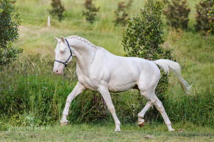 DAIQUIRI GF IMPORTED CREMELLO FULL WARMBLOOD