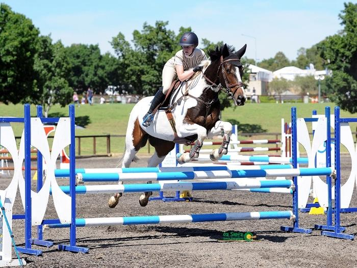 Pinto gelding- showjumping or eventing