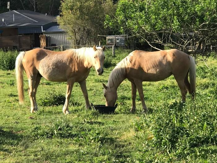 Palomino mare and gelding project ponies