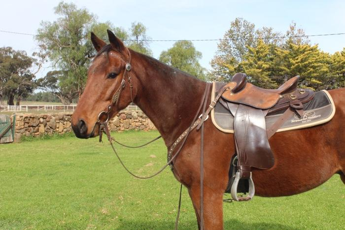Great All-rounder Gelding