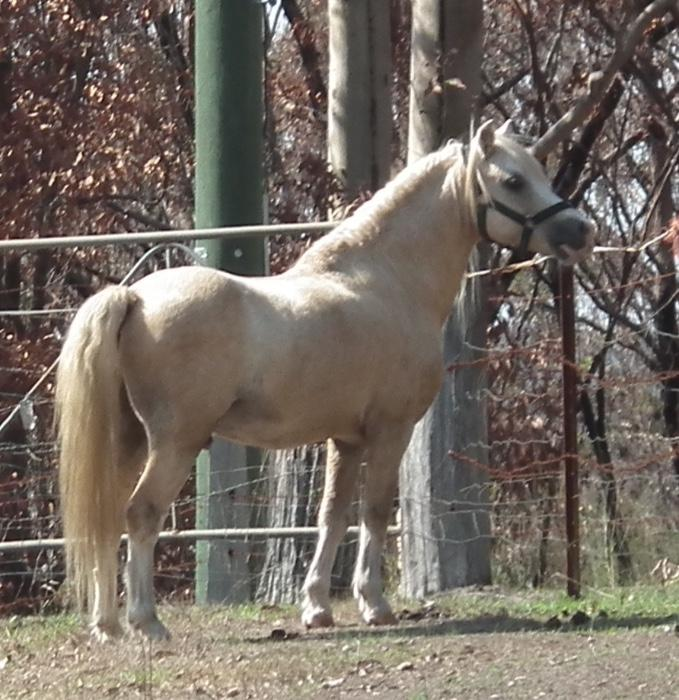 Palomino Welsh Mountain Stallion, Harness pony