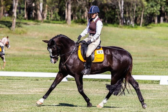 Eye-cathching Dressage Gelding / Interschool Mount