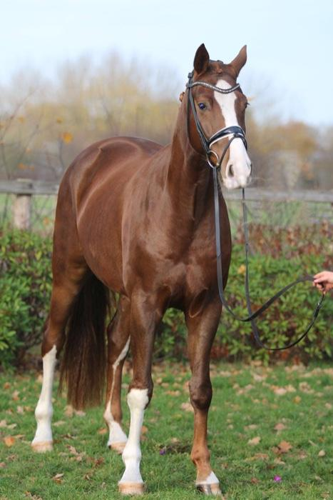 FEI Prospect Young Horse Import From Germany