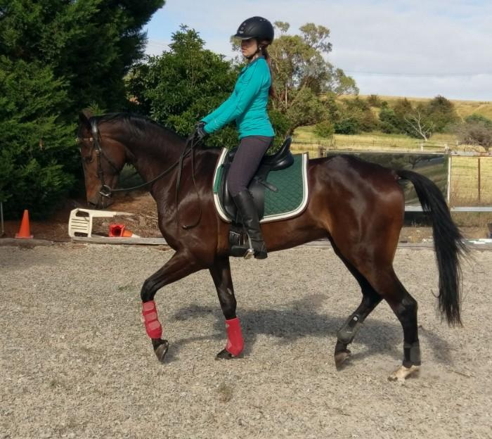 Elegant Warmblood Gelding