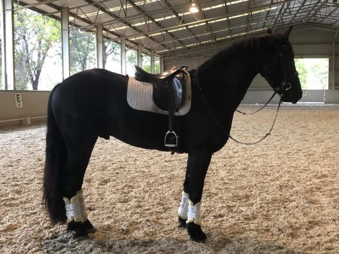 Stunning Friesian x TB for sale!