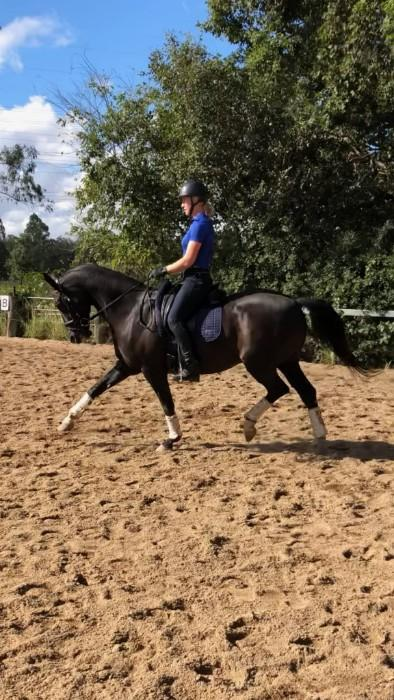 BLACK HANOVERIAN GP DRESSAGE GELDING