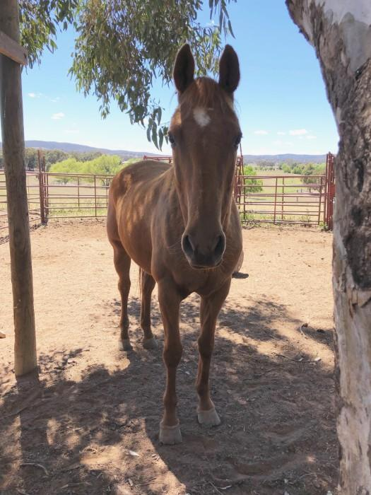 Tridot Oaks Flair Registered ASH Mare