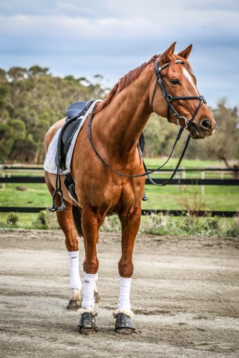 6yo Novice gelding, Superb Temperament