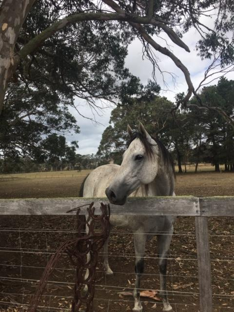 Stunning grey thoroughbred gelding