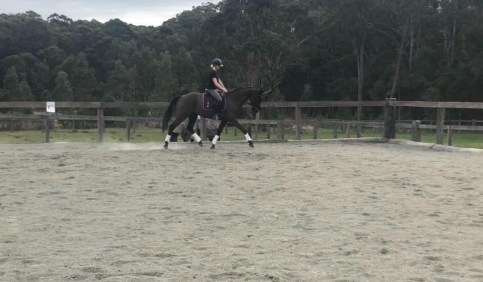 Stunning Warmblood gelding