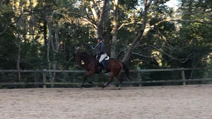 Handsome Quiet Bay Gelding
