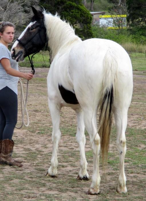 Stunning Gypsy Cob X QH Mare + VIDEO