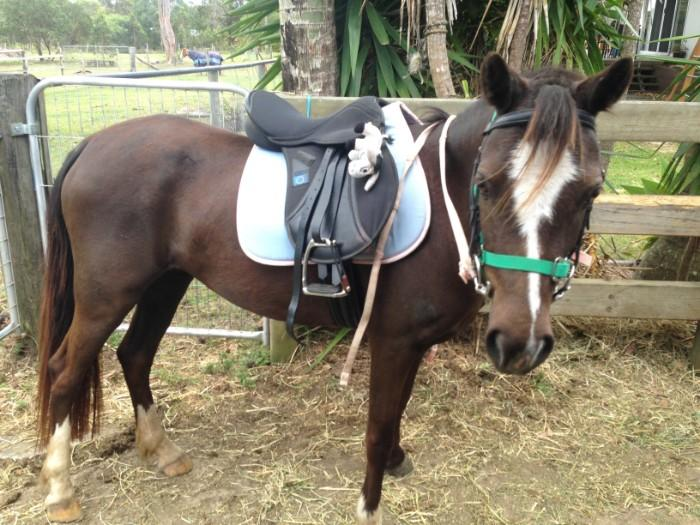 Black Welsh Pony mare, 7yrs, 12HH, green broken