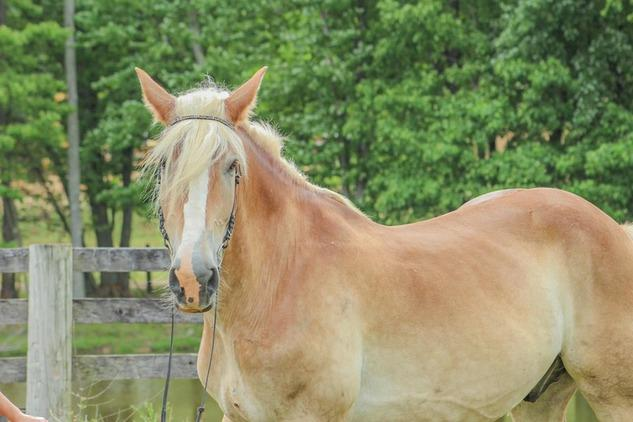 Beautiful and Gentle Belgian Gelding
