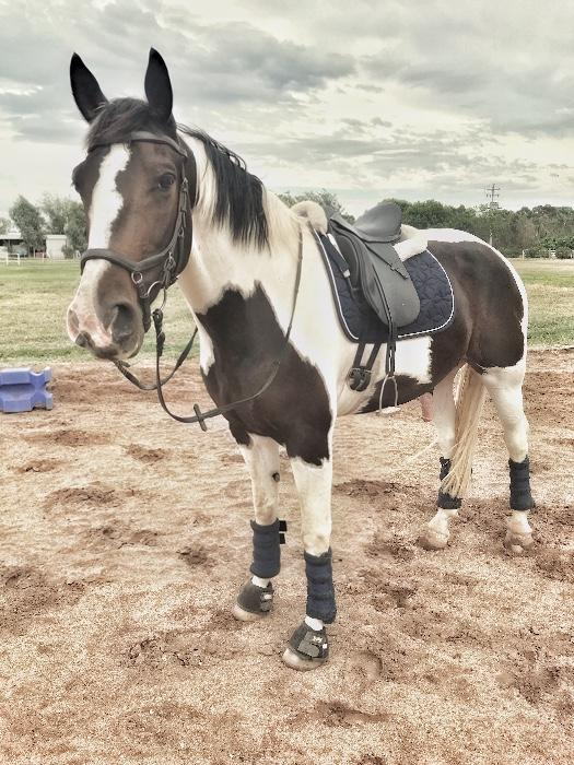 Friesian Warmblood Sport Horse Gelding