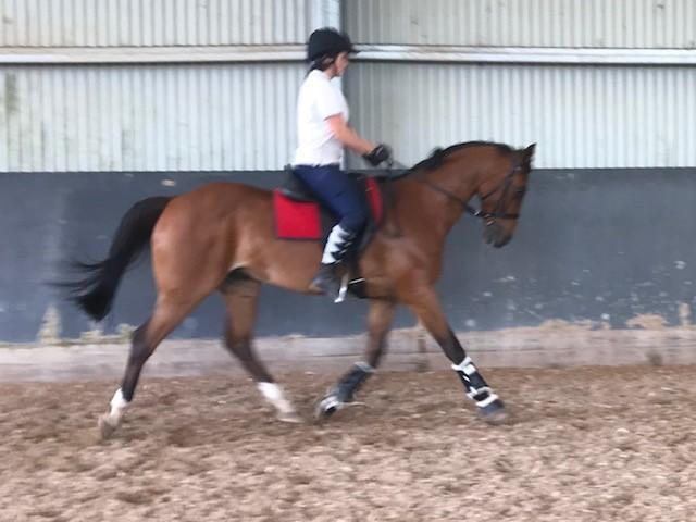 Dressage Anglo Arabian Galloway Gelding 11 years