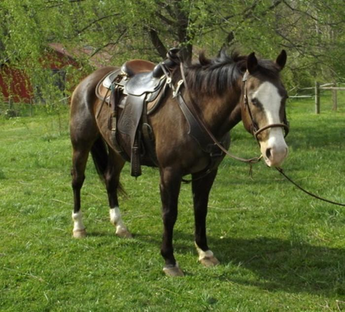 AMERICAN QUARTER HORSE AVAILABLE