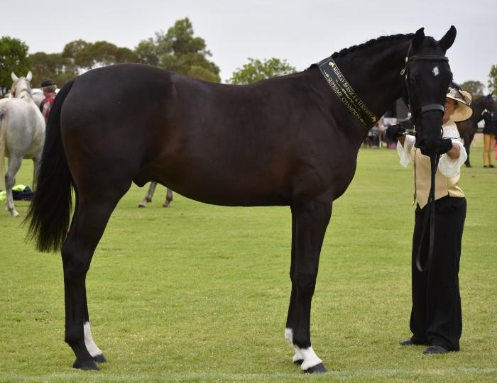 STUNNING LARGE DRESSAGE/SHOW HUNTER