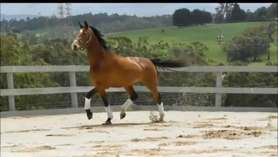 Exceptional 4yo, serious dressage horse.