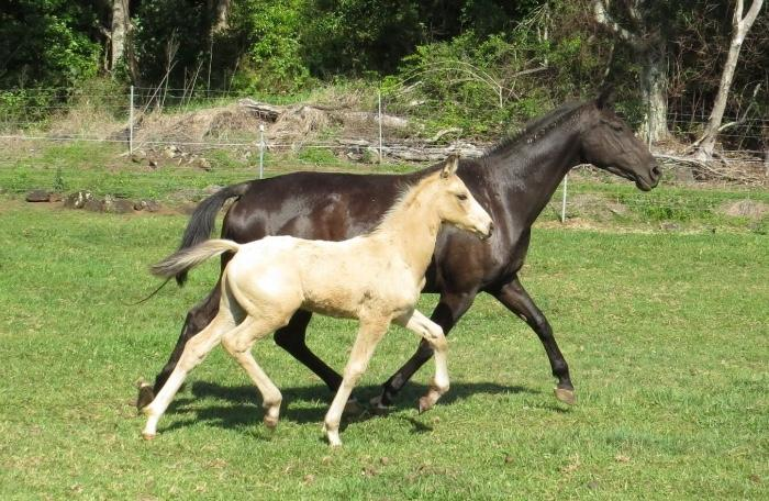 Dancier mare in foal to Secret with Daiquiri colt