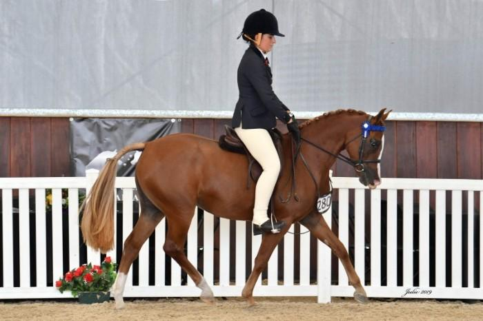 Top Quality Large Pony Mare - Show or Dressage