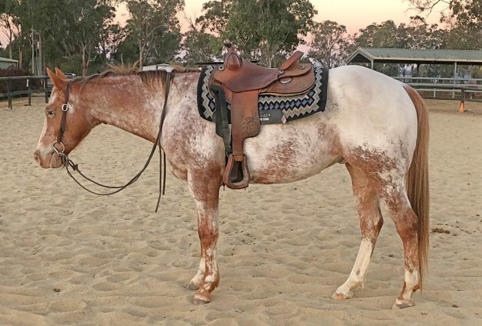 Registered Appaloosa QH Gelding