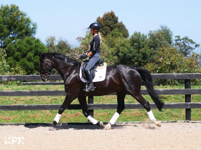 Sensible Warmblood Gelding