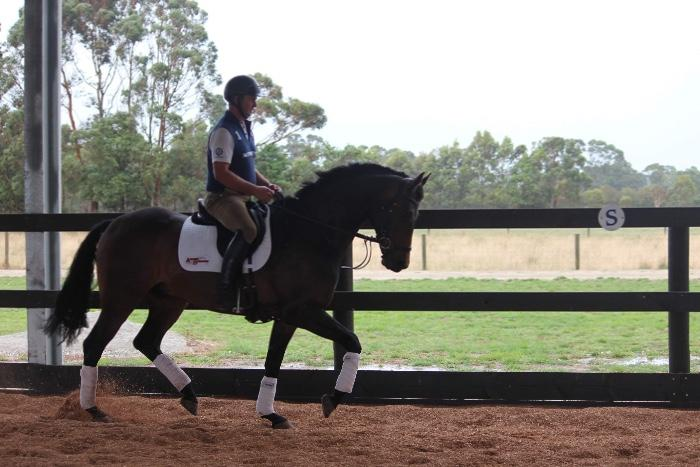 Royal Hit Gelding Elementary Dressage