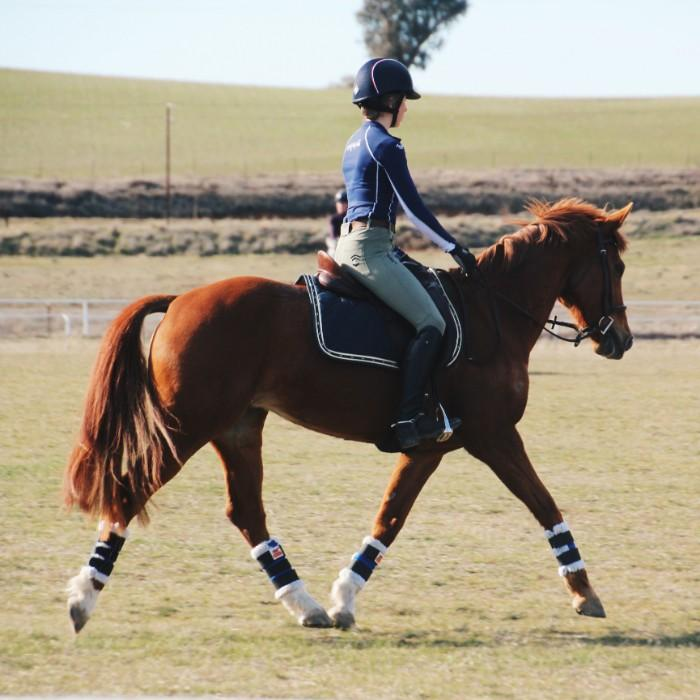 Talented Warmblood Mare
