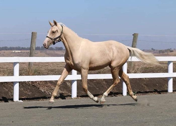 2017 Broken Arabian Warmblood