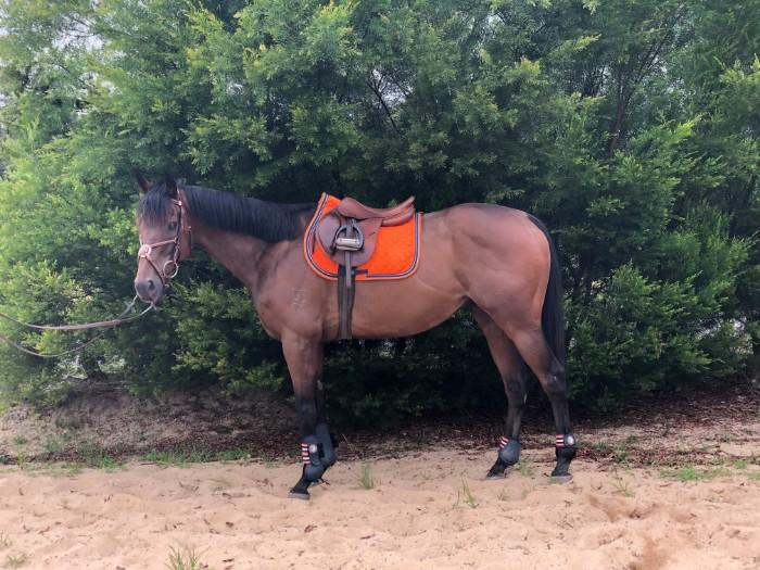 Sweet Natured Tb Gelding