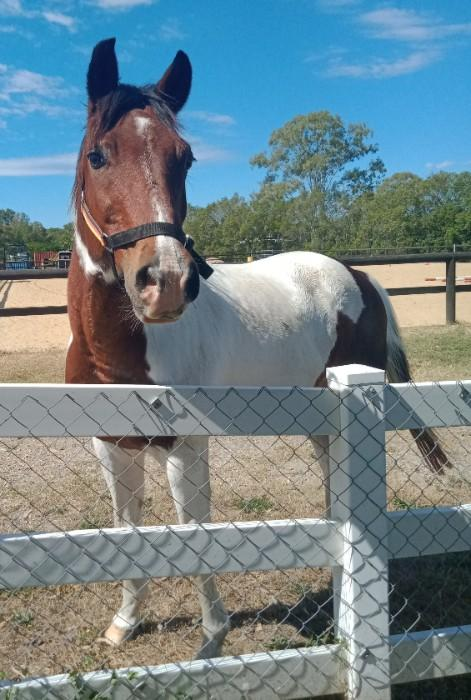 Experienced Paint Pony Gelding suit Trail Riding
