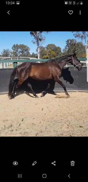 Beautiful Aus stock horse
