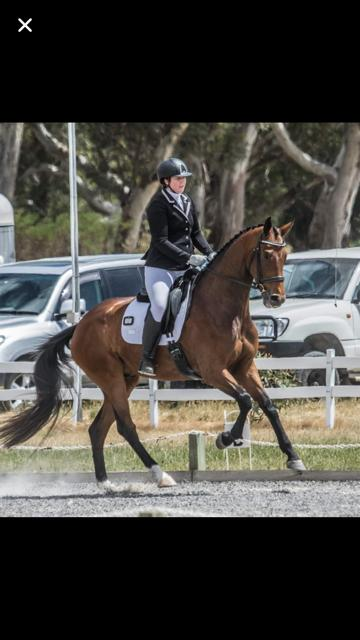 Seriously Talented 4 y.o. Dressage Gelding