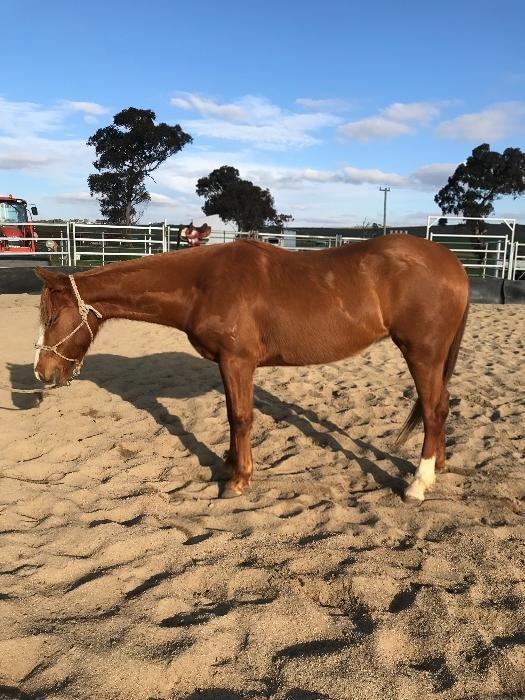 Sweet natured, Reg Stock horse mare