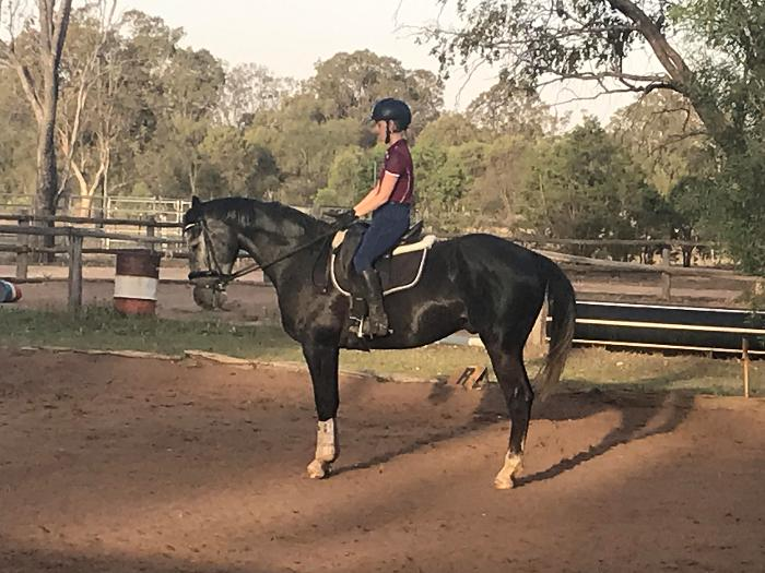 Warmblood Gelding Ready to start career