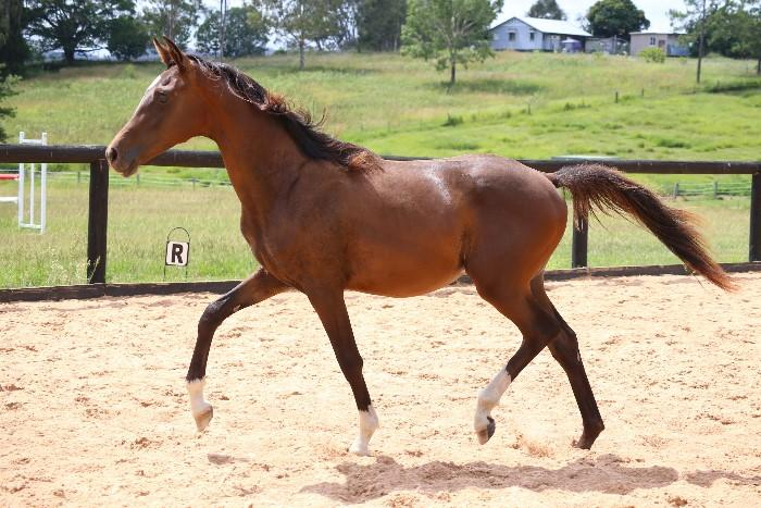 Exciting Young Performance Gelding