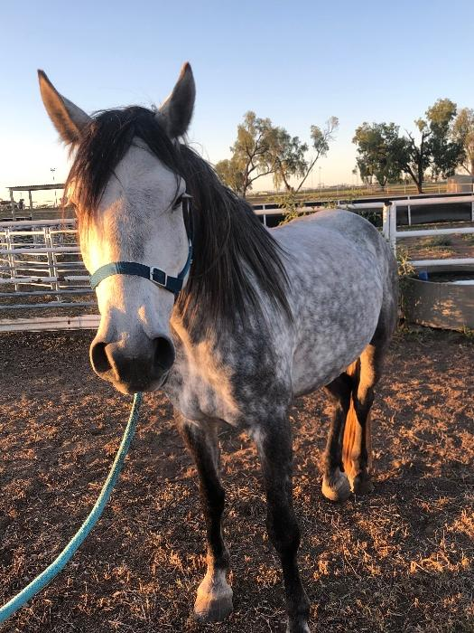 Percheron x 15.2hh mare